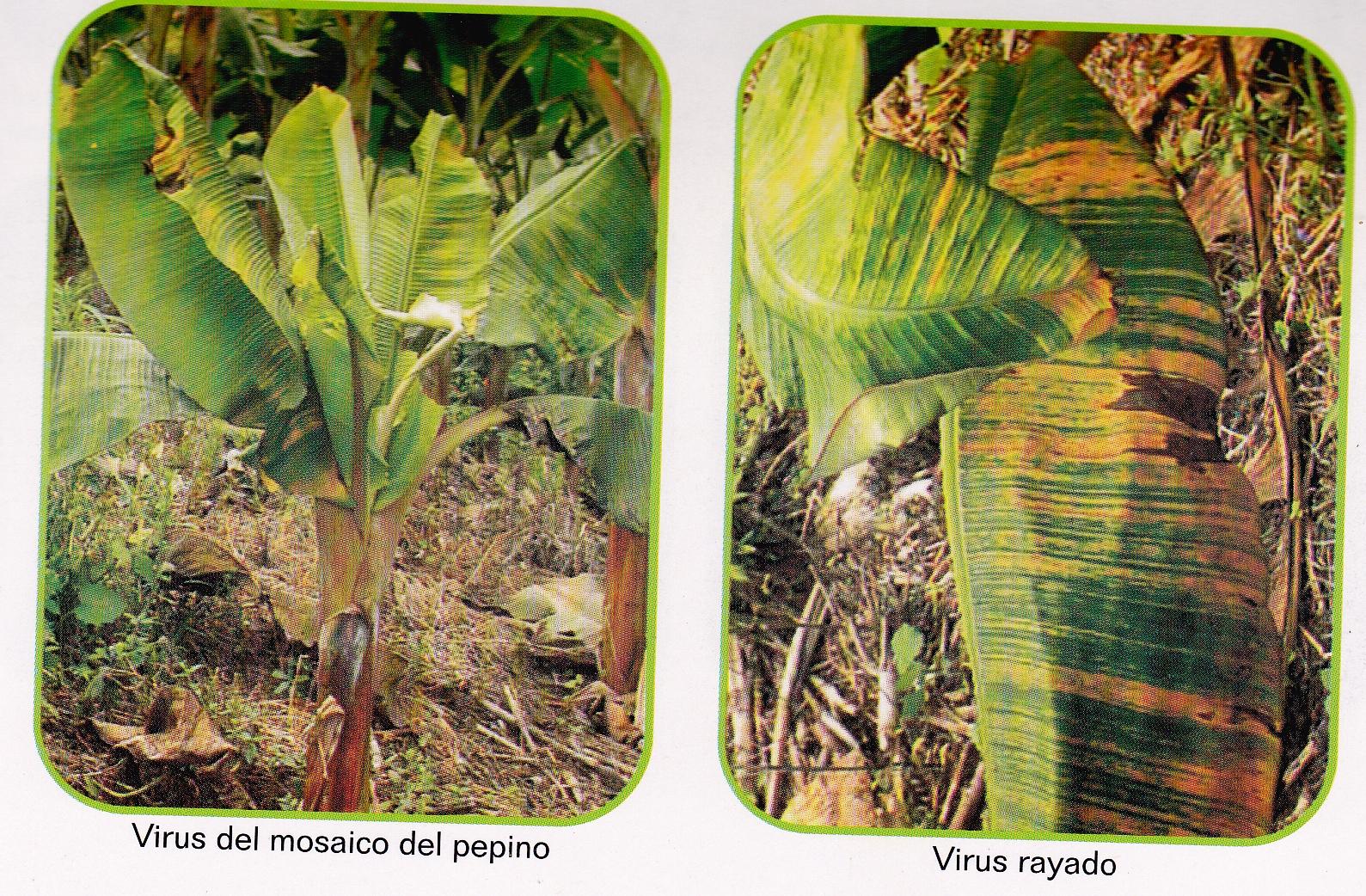 ENFERMEDADES DEL PLATANO Y BANANO | cultivo de platano
