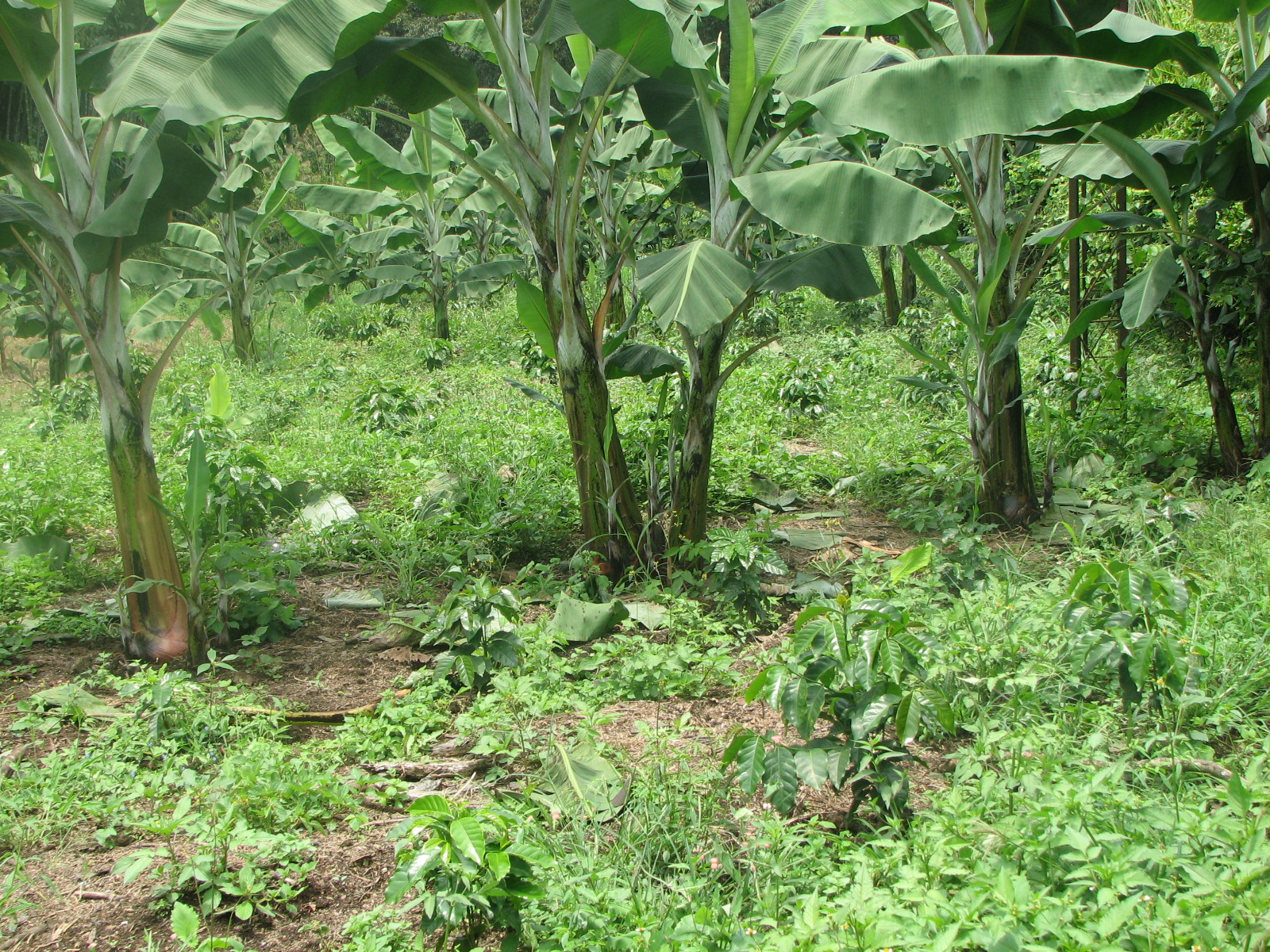 Cultivos asociados cultivo de platano for Que son cultivos asociados
